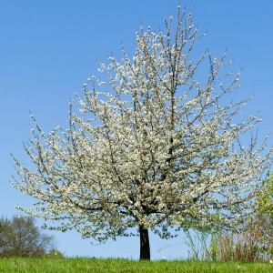 Obstbaum auf dem Kaiserberg